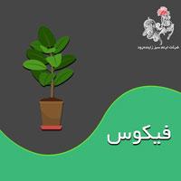 با مسائل پرورش و نگهداری گیاه فیکوس بیشتر آشنا شوید