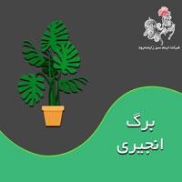 با مسائل پرورش و نگهداری گیاه برگ انجیری بیشتر آشنا شوید